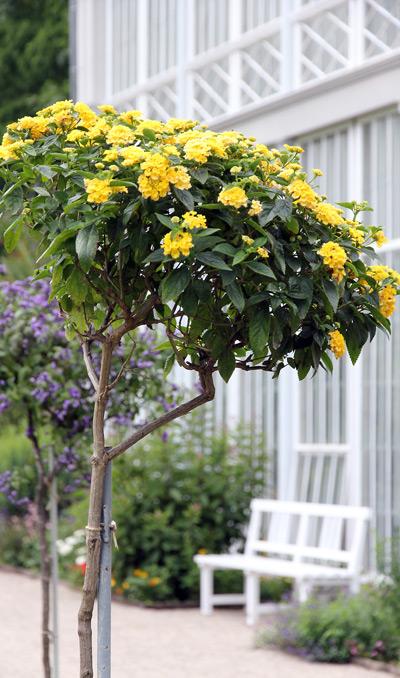 штамбовая форма какого-то бордюрного растения