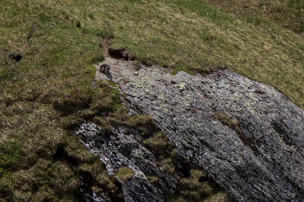 Альпийский сурок (marmot) ©Татьяна Гладченко, 2014