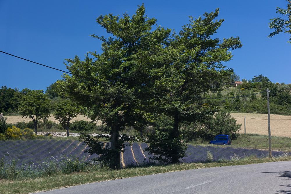 Лаванда у дороги в Провансе, июнь 2014 года