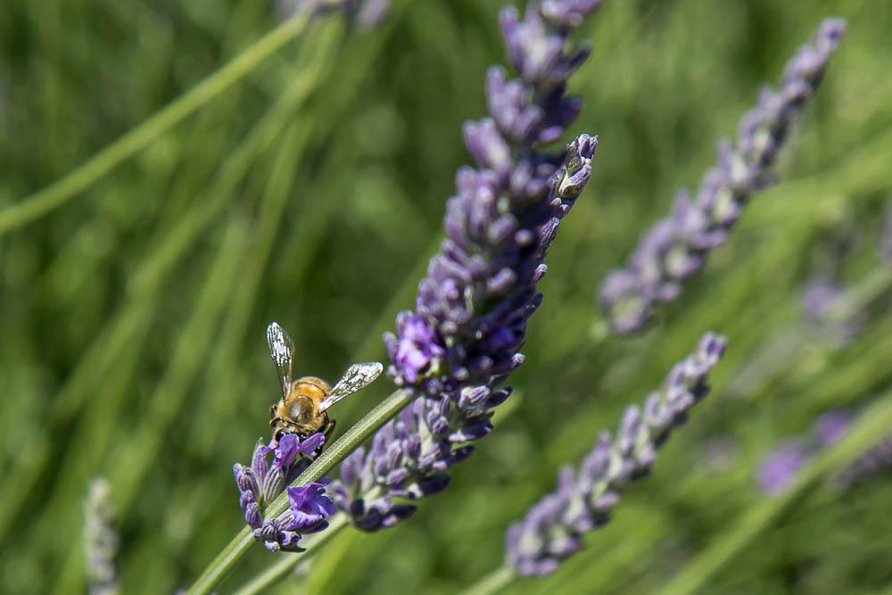 Лаванда в Провансе и пчёлы ©Татьяна Гладченко, 2014