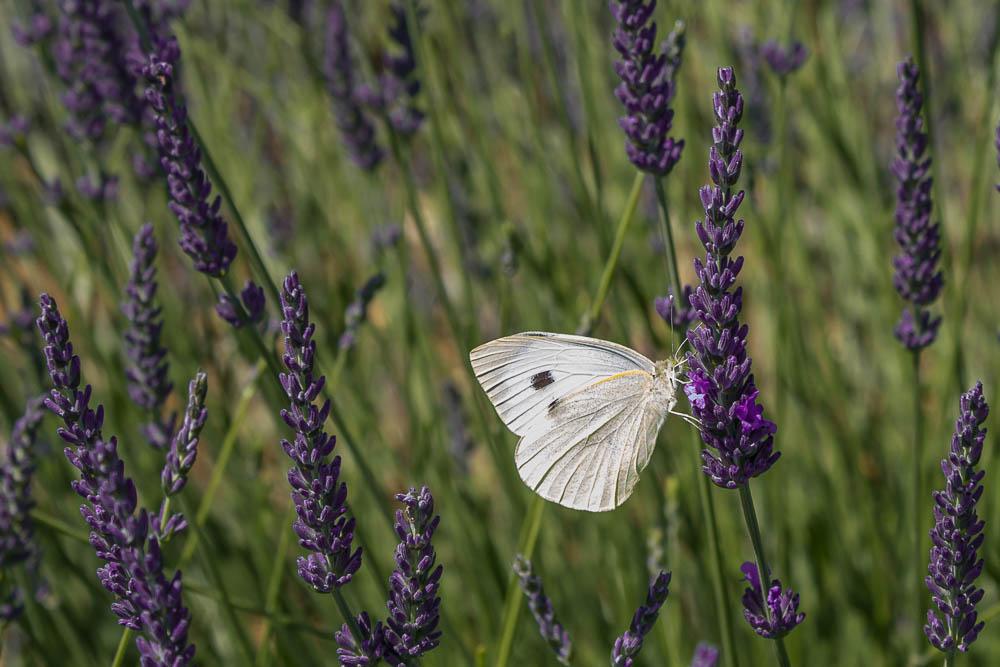 Лаванда в Провансе и бабочка ©Татьяна Гладченко, 2014