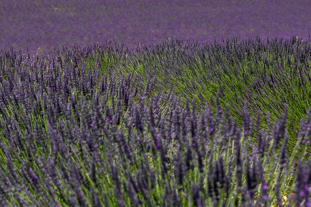 Лаванда в Провансе во второй половине июня ©Татьяна Гладченко, 2014