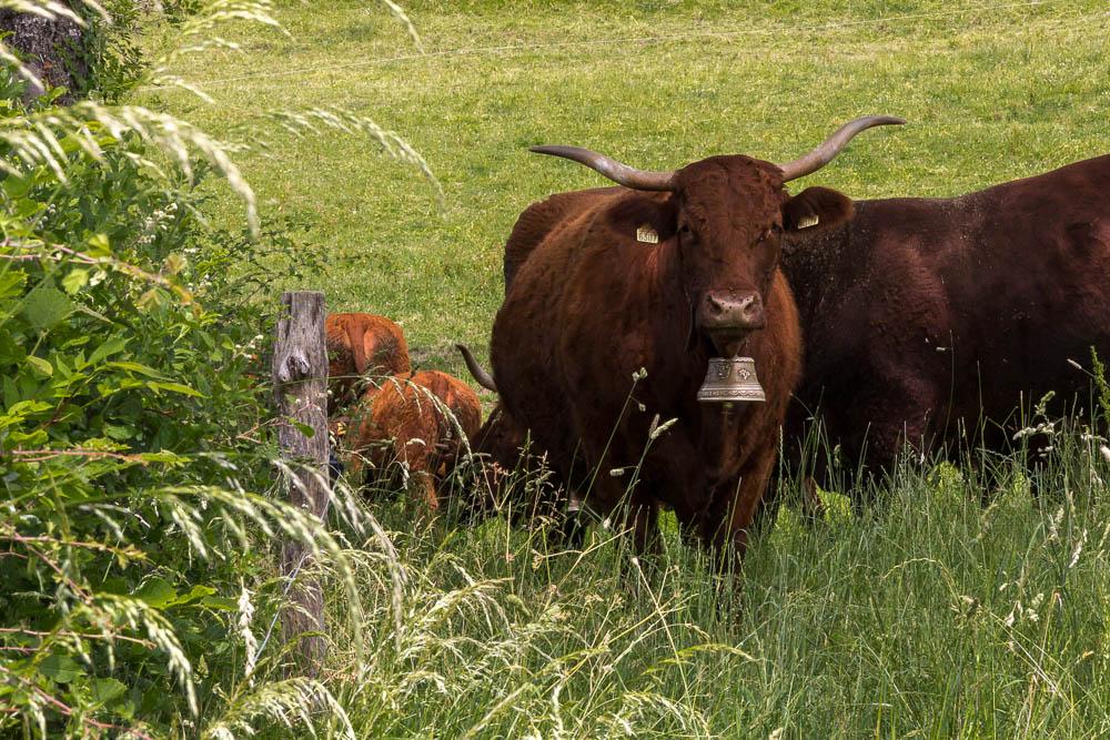 Местные коровы в регионе Овернь-Канталь ©Татьяна Гладченко, 2014