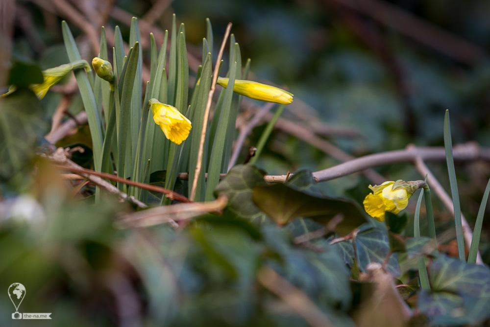 Daffodil 2018 © Tatiana Gladchenko