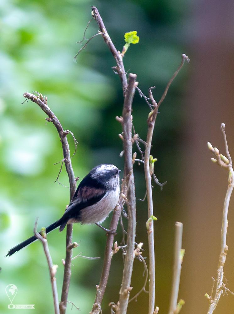 Long-tailed Tits © Tatiana Gladchenko